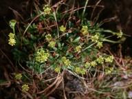 Saxifraga aphylla