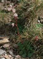 Saxifraga umbrosa