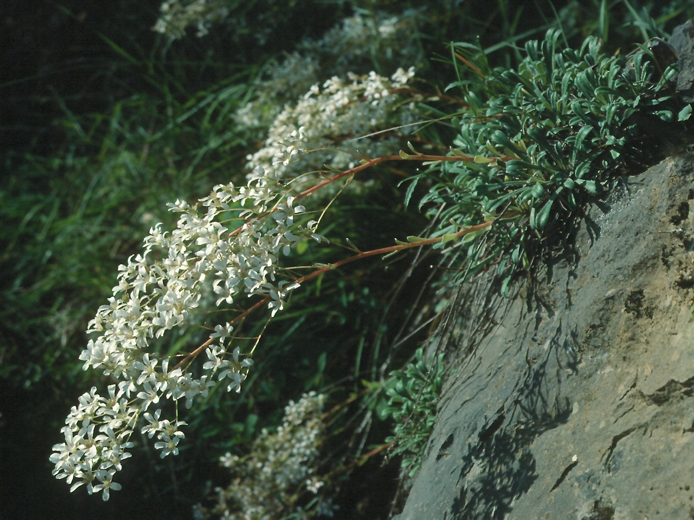 Saxifraga callosa