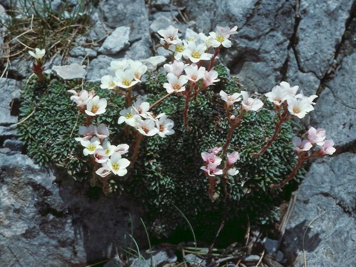 Saxifraga scardica