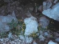 Saxifraga sibthorpii
