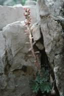 Saxifraga grisebachii