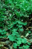 Saxifraga rotundifolia