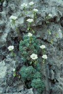 Saxifraga squarrosa