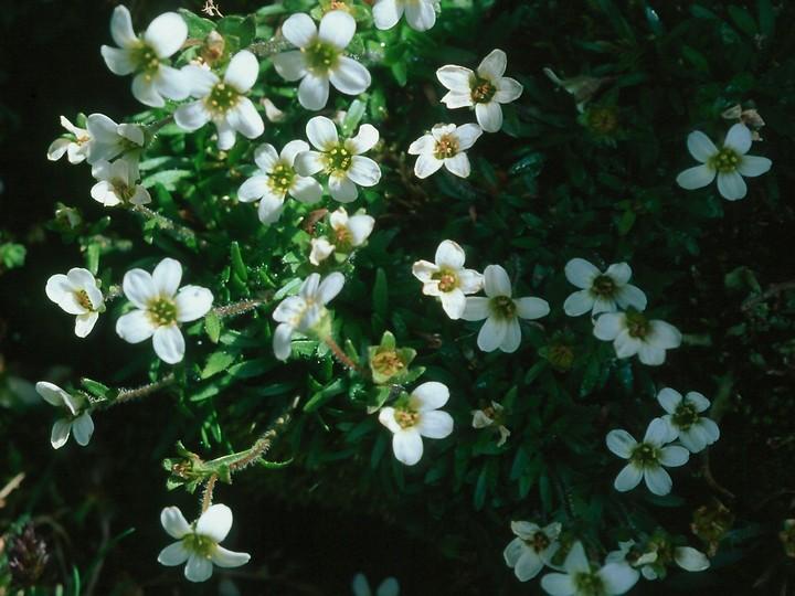 Saxifraga androsacea