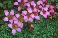 Saxifraga blepharophylla