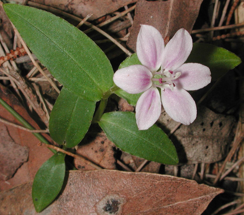 Schelhammera undulata