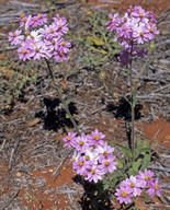 Schoenia cassiniana