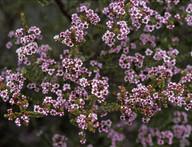 Scholtzia uberiflora