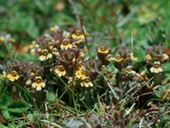 Euphrasia minima