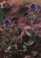 Veronica alpina ssp. pumila