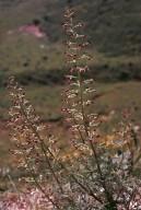 Scrophularia hoppei