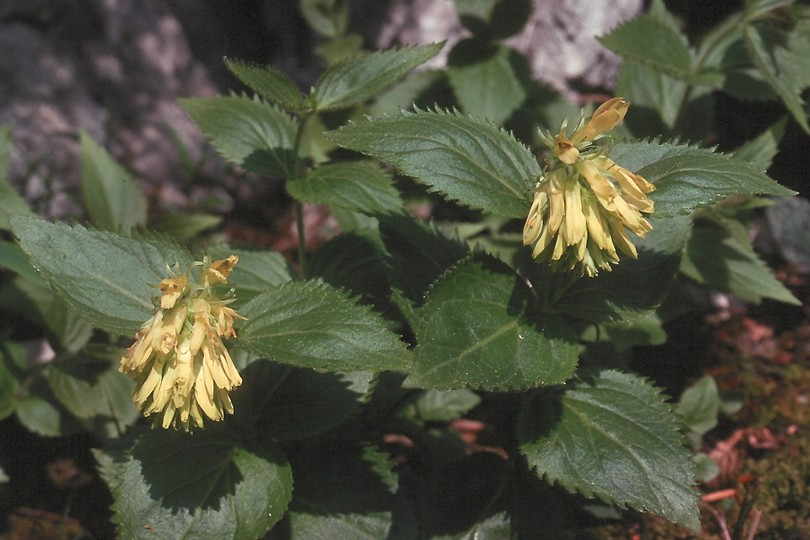 Paederota lutea