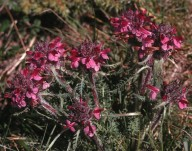Pedicularis orthantha
