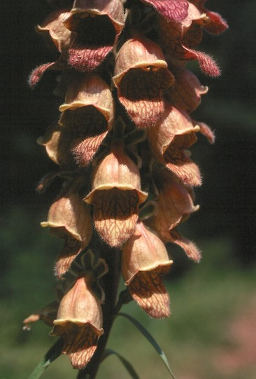 Digitalis laevigata