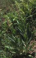 Digitalis viridiflora