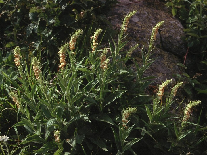 Digitalis viridiflora