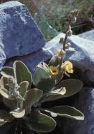Verbascum epixanthum