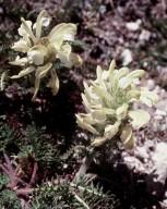 Pedicularis comosa ssp. sibthorpii