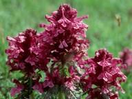 Pedicularis verticillata
