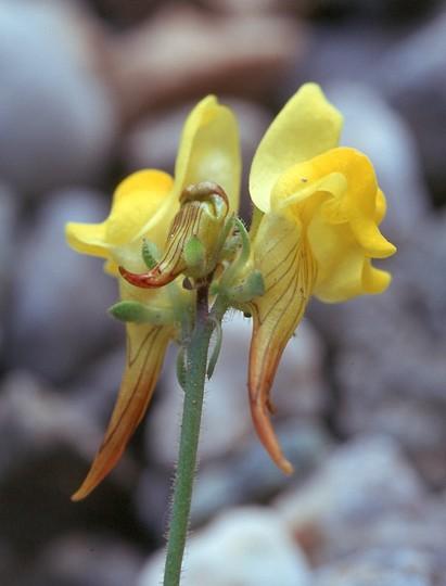 Linaria supina