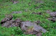 Wulfenia carinthiaca