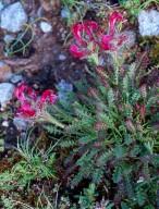 Pedicularis asplenifolia