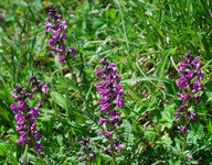 Pedicularis rostrato-spicata