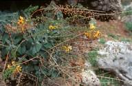 Verbascum arcturus