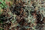 Verbascum spinosum