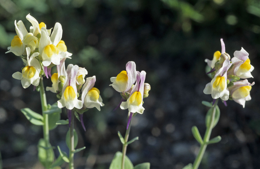 Linaria triphylla