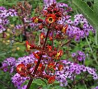Scrophularia calliantha