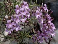 Campylanthus salsoloides