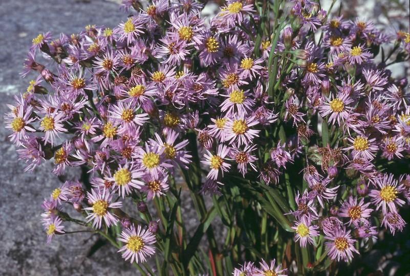 Tripolium pannonicum ssp. tripolium