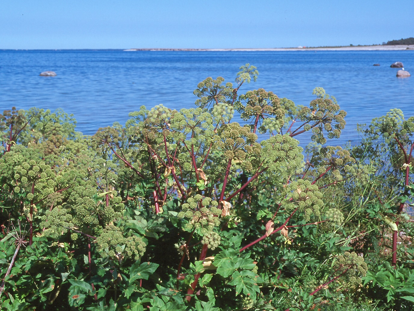 Angelica archangelica ssp. littoralis