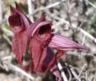 Serapias orientalis ssp. carica