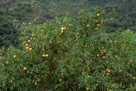 Solanum linnaeanum