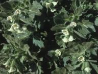 Hyoscyamus albus