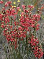 Sphaerolobium macranthum?
