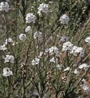 Sphenotoma dracophylloides
