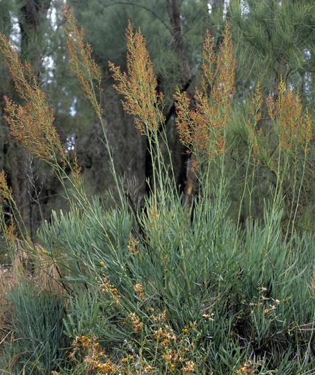 Stirlingia latifolia