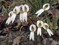 Stylidium schoenoides
