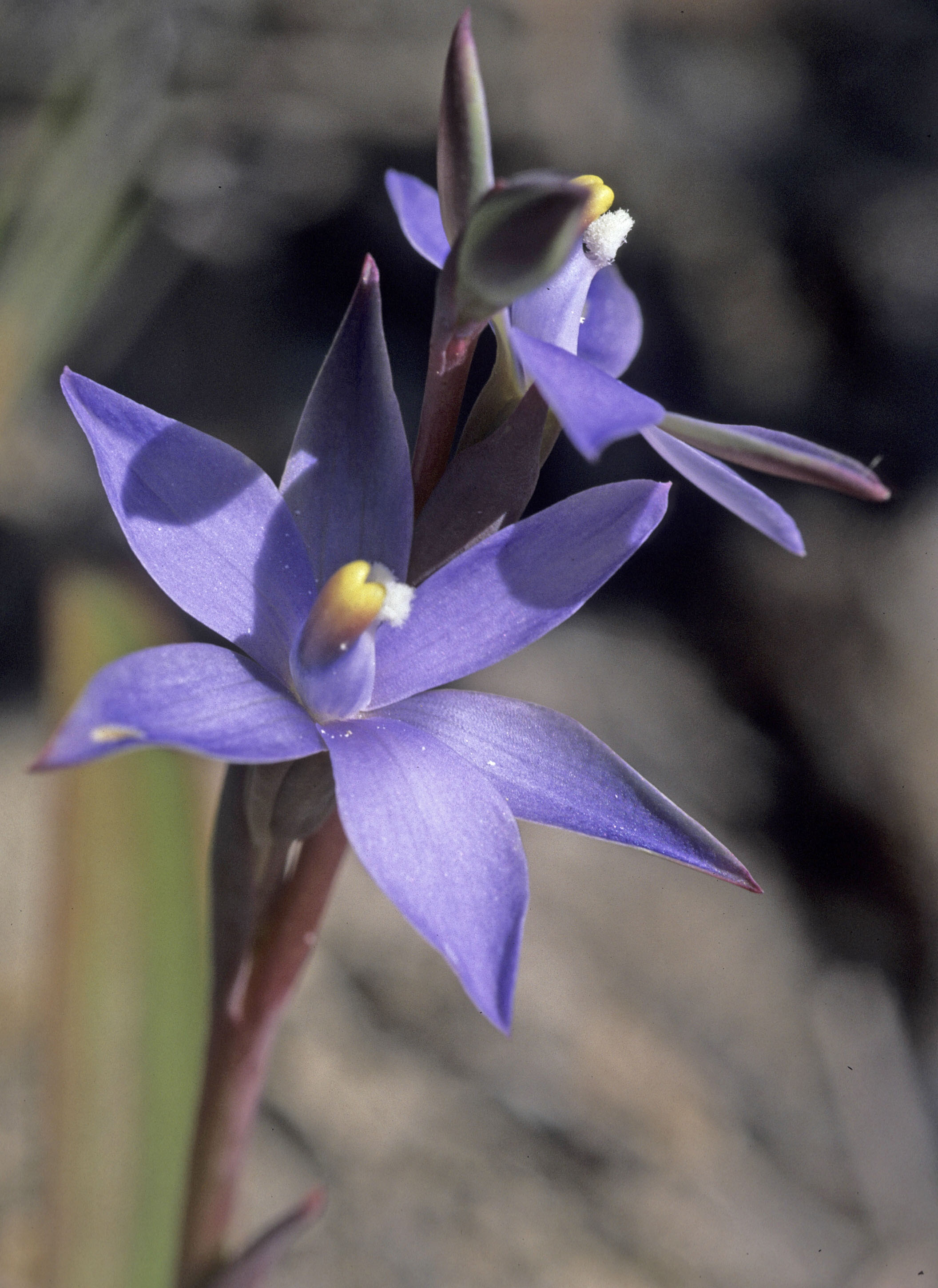 Thelymitra sp.?macrophylla