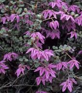 Thomasia sp. ?purpurea