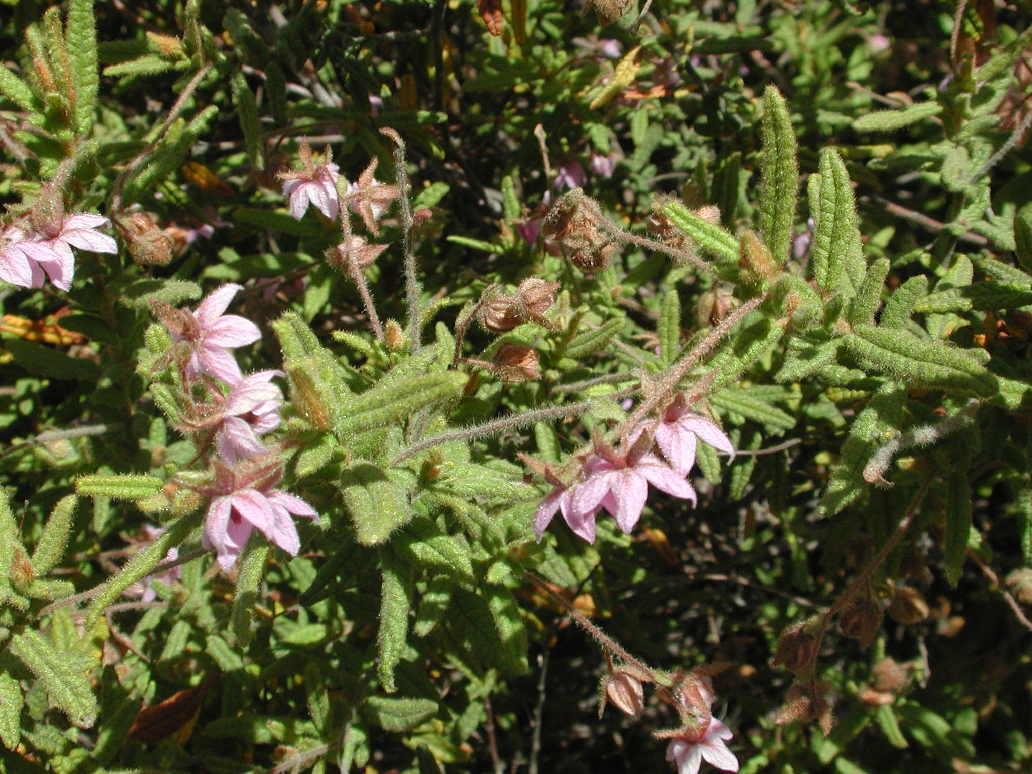 Thomasia petalocalyx