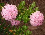 Pimelea ferruginea