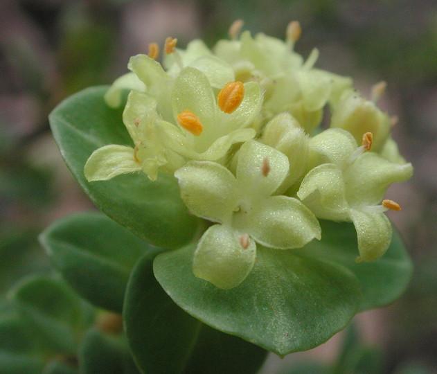 flower gallery    thymelaeaceae    aaaa7159
