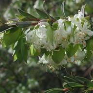 Pimelea pagophila