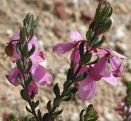Tetratheca glandulosa
