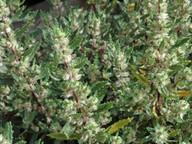 Forskohlea angustifolia